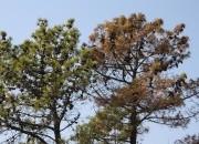 Virtual symposium on pine wilt disease